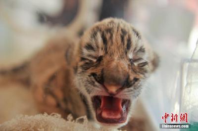 云南野生动物园是全国10个老虎繁殖基地之一