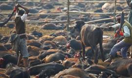 尼泊尔庆节 祭祀水牛尸横遍野
