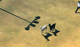 美两只羊驼狂奔 电视台航拍直播